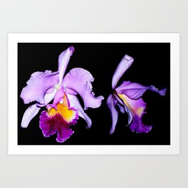 Purple and Yellow Orchid on a Black Background Art Print