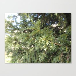 Yew-tree Canvas Print