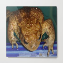 Bufo Bufo Clinging To The Edge Of A Swimming Pool Metal Print