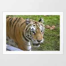 Close Encounters of the Tiger Kind Art Print