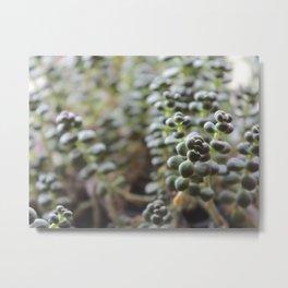 Sedum Divergens - Creeping Stonecrop Metal Print