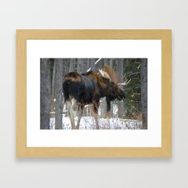 Massive male moose on the loose in Jasper National Park Framed Art Print