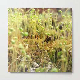 Moss Sporophytes Metal Print