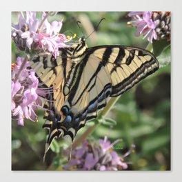 Western Tiger Swallowtail on Lemon Blossoms Canvas Print