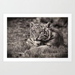 Sumatran Tiger Cub Taking A Break Art Print
