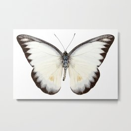 White butterfly species Appias lyncida Metal Print