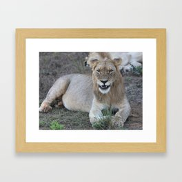 Young Male Lion Framed Art Print