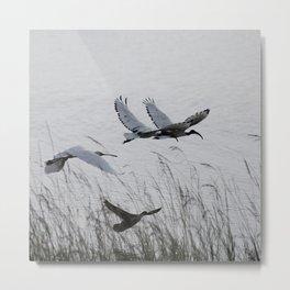 Sacred Ibis in flight Metal Print