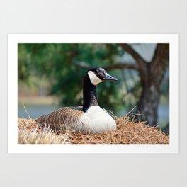Nesting Canadian Goose Art Print