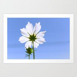 White Cosmos Flower Art Print