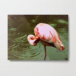 Greater Flamingo. Metal Print
