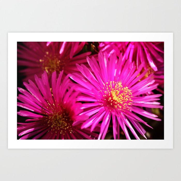 Ice Plant Pink Cactus Flowers Art Print