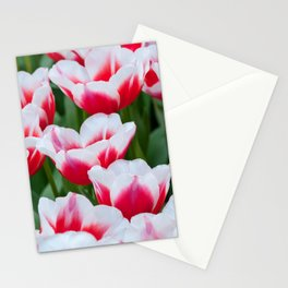 Red white tulips on the flowerbed in Keukenhof. Shallow depth of field. Stationery Cards