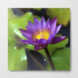 Water Lily Square Format Metal Print