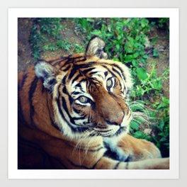 Tendre Tigre Art Print