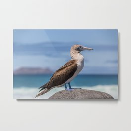 Galapagos blue footed booby bird photography Metal Print