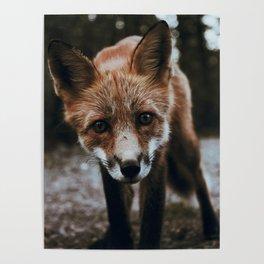 Curious Fox / Alaska Poster