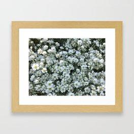 Snow In Summer - Cerastium Silver Carpet Flower Framed Art Print