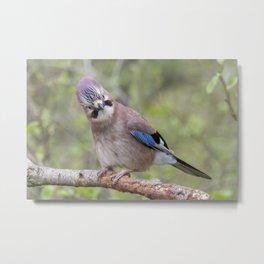 Shy colourful Jay bird Metal Print