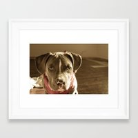 pitbull Framed Art Prints featuring Pitbull by SachelleJuliaPhotography