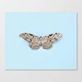 White Witch Moth Canvas Print