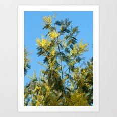 Yellow mimosa flowers 1257 Art Print