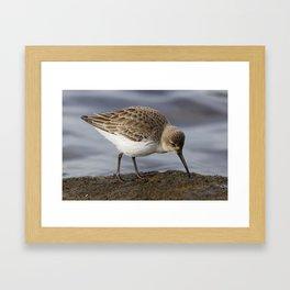Dunlin Shorebird Framed Art Print