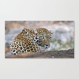 Leopard in a tree, Africa wildlife Canvas Print