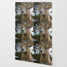 Big Horn Sheep in Jasper National Park Wallpaper