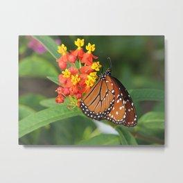 Queen butterfly photo Danaus gilippus Metal Print