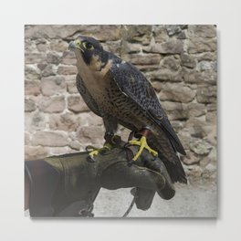 Peregrine on glove Metal Print