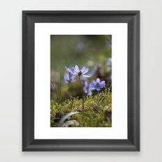 Anemone Hepatica  Framed Art Print