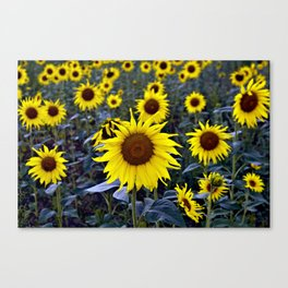 Sunflower Poetry Canvas Print