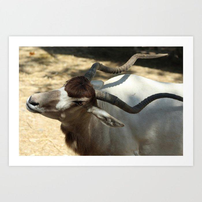 Addax, Sahara Desert Antelope Art Print