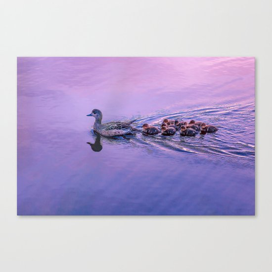 Ducklings floating at sunset Canvas Print