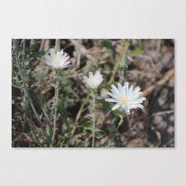 Desert Chicory Coachella Wildlife Preserve Canvas Print