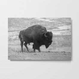 Old Buffalo in a Field of Grass Metal Print