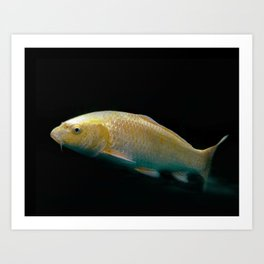 A lucky golden colored carp/Nishikigoi(Japanese Colored Carp) Art Print