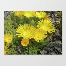 yellow cactus bloom IV Canvas Print