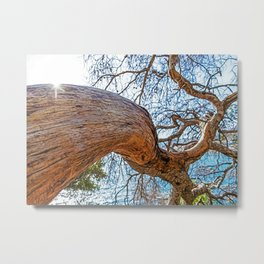 Maritime pine in French Riviera in a sunny winter day Metal Print