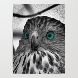 Black and White Hawk with Aqua Blue Eye A165 Poster