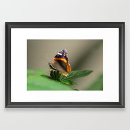The Red Admiral Butterfly Framed Art Print