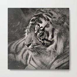 The mysterious eye of the tiger. BN Metal Print