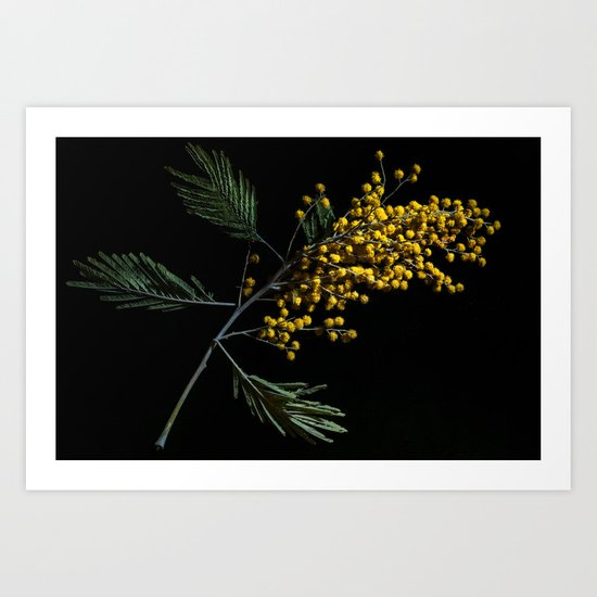 Silver Wattle Flowers Art Print