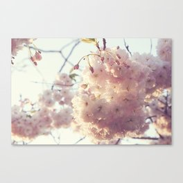 sunlit cherryflowers Canvas Print
