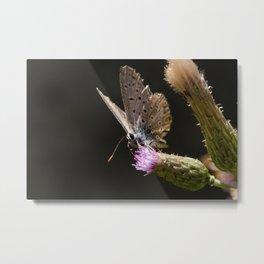 Posing butterfly Metal Print