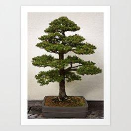 Japanese Hemlock Bonsai Art Print