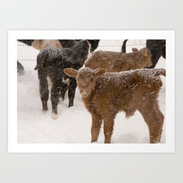 Calves in The Snow Art Print
