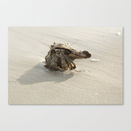 The sociable hermit (crab) Canvas Print