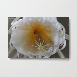 Surprise on the balcony - Queen of the Night (Epiphyllum Oxypetalum) Metal Print